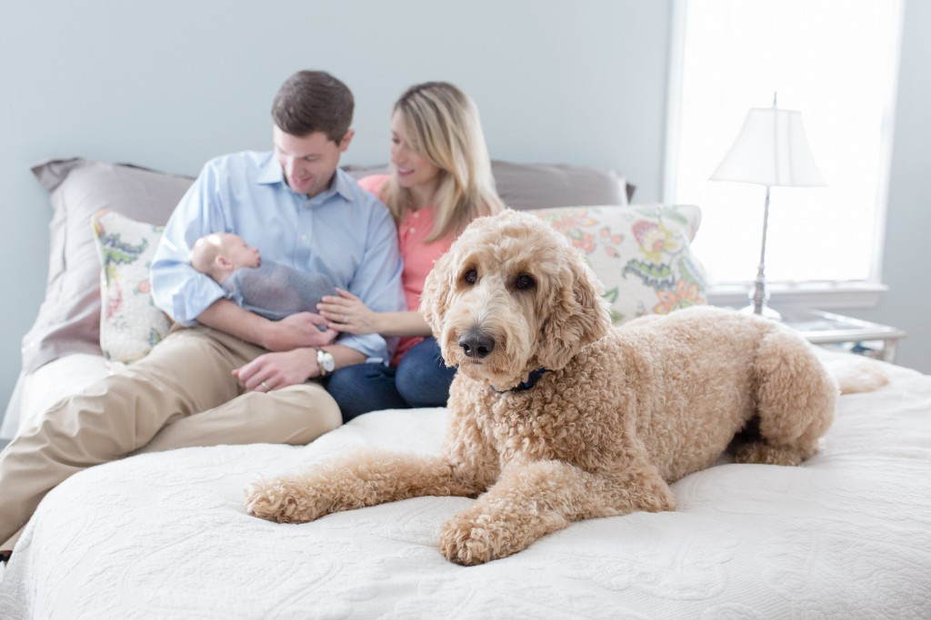 Golden doodle in family pictures